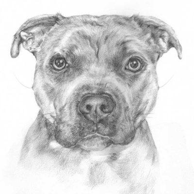 Graphite drawing_Staffy