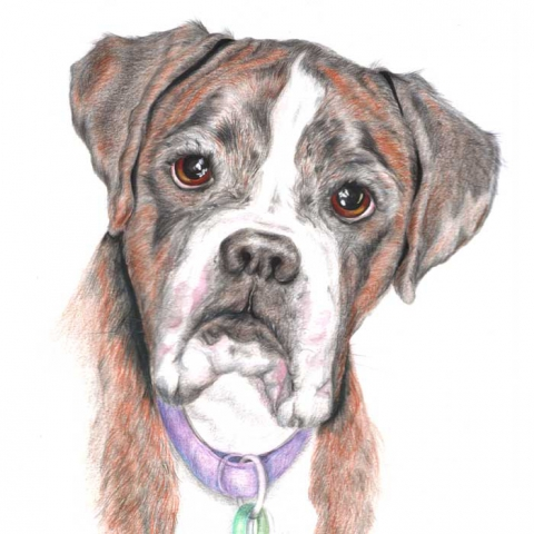 Coloured pencil drawing_Boxer