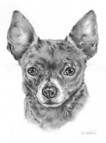 Graphite drawing_Chihuahua Cross