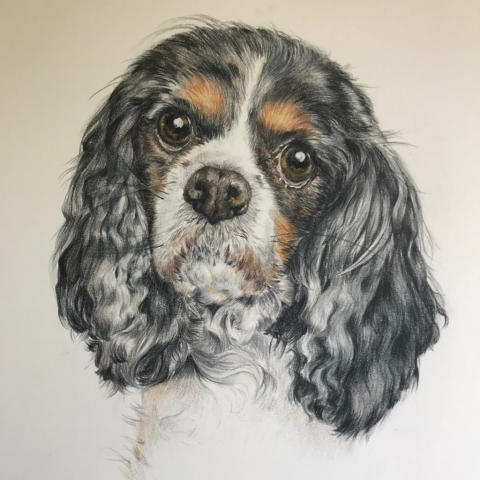 Coloured pencil drawing_King Charles Cavalier