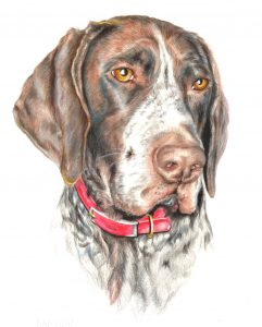 german wire haired pointer_coloured pencil drawing